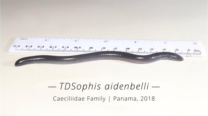 TDSophis-aidenbelli