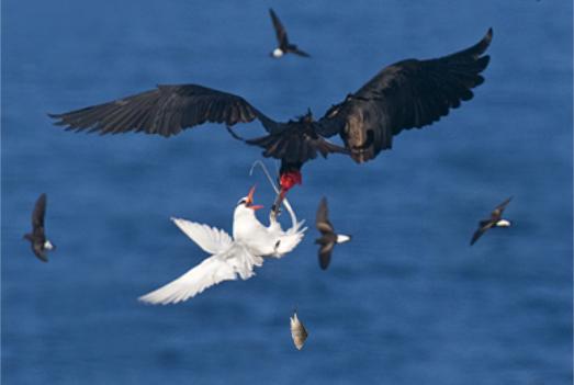 Frigatebird vs Tropicbird
